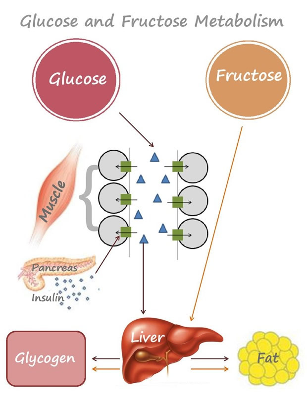 How body metabolises sugar