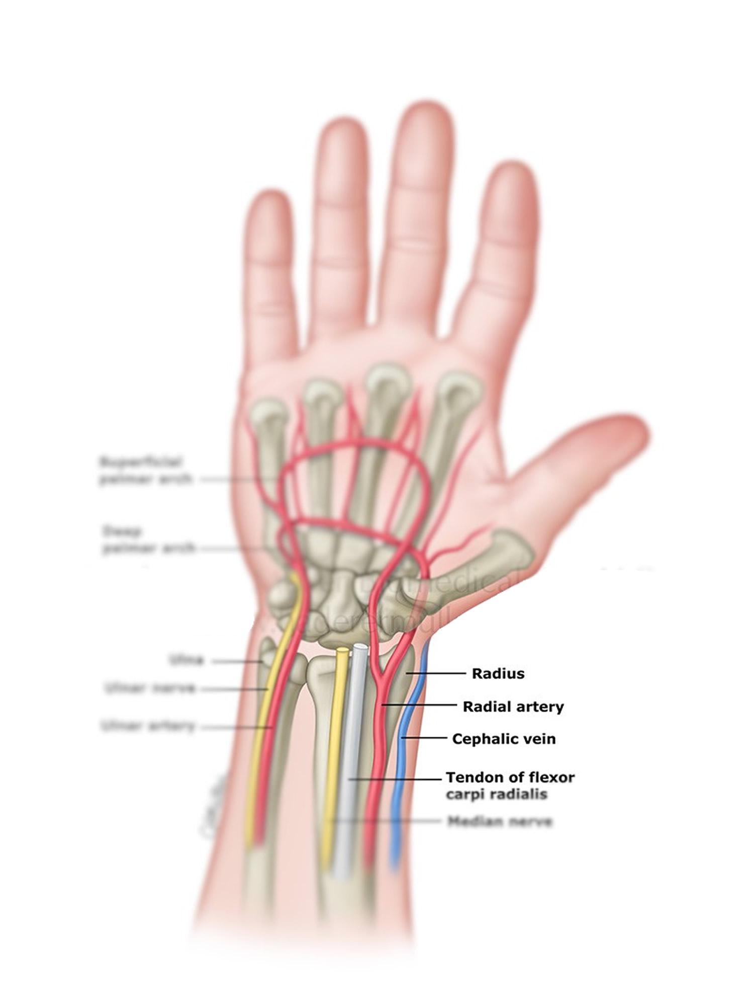 deep palmar artery - HD800×1067