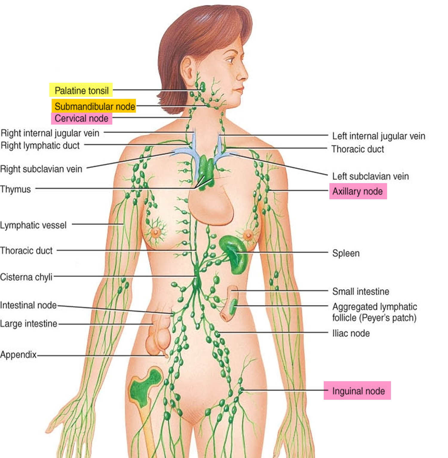 Locations-of-major-lymph-nodes