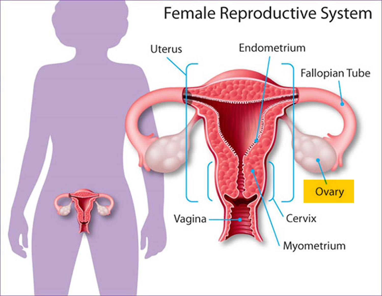 normal ovary