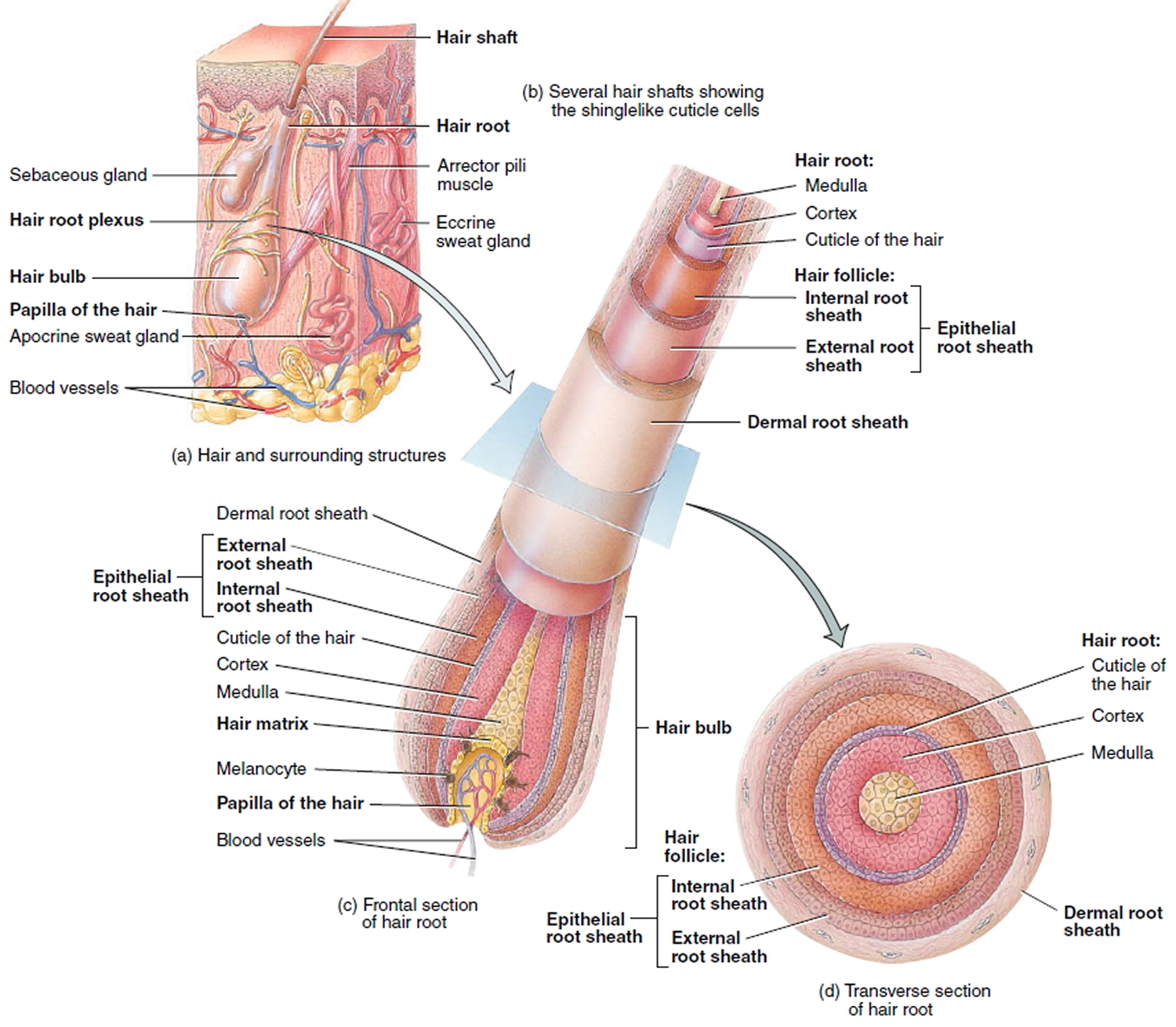 External structure of penis shaft