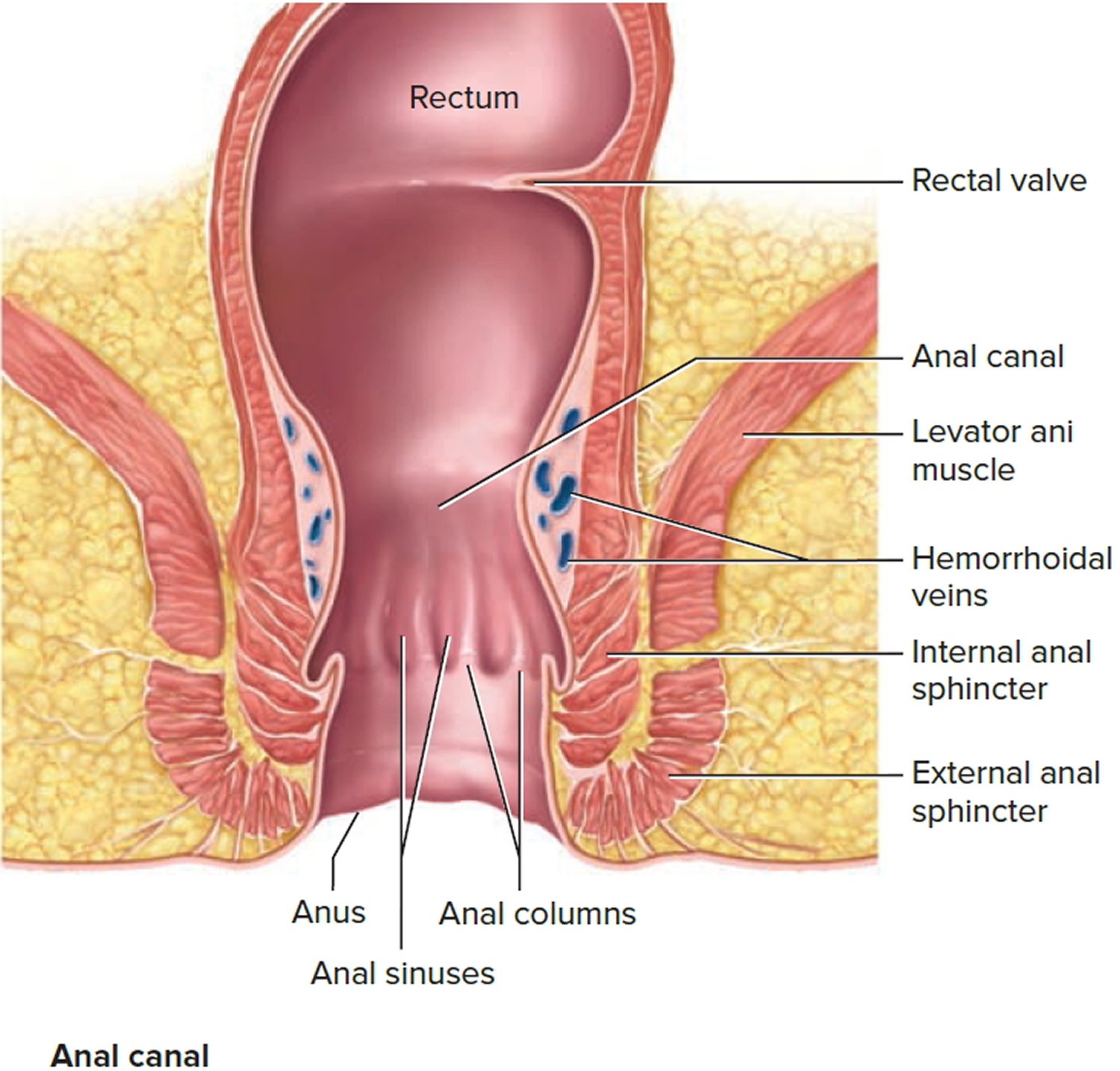sphincter-muscle-of-anus