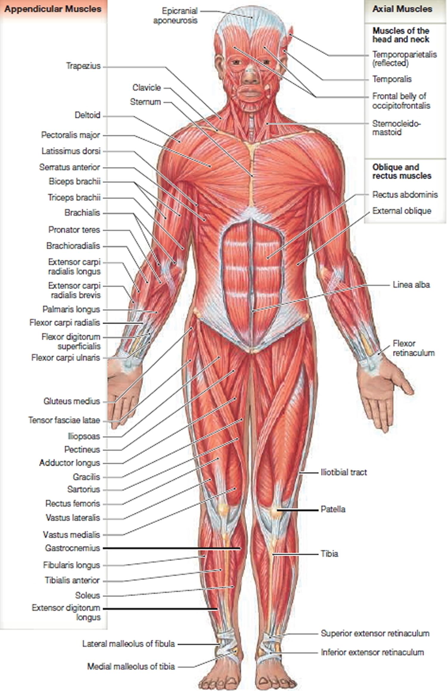 muscle anatomy