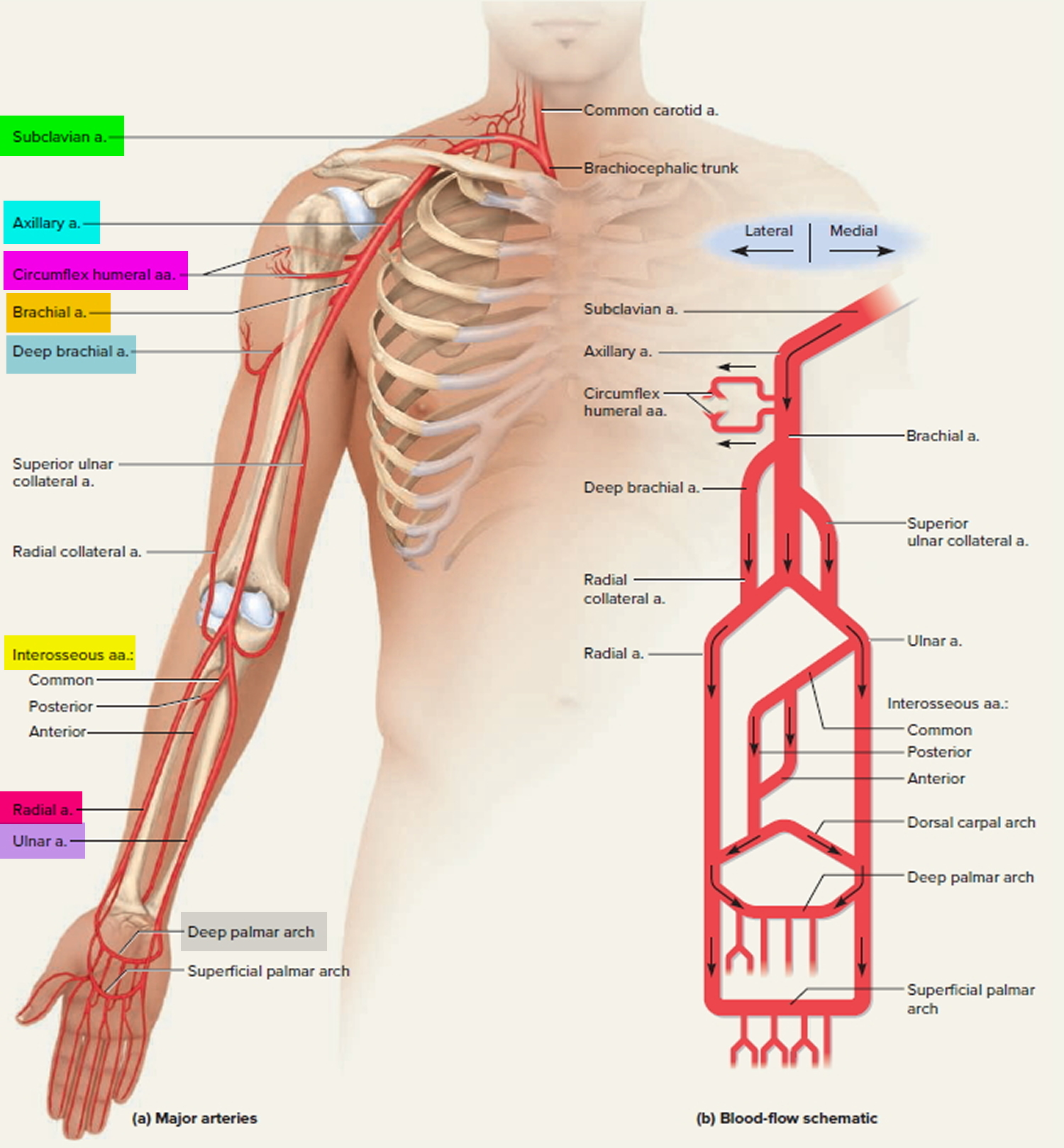 subclavian artery branches