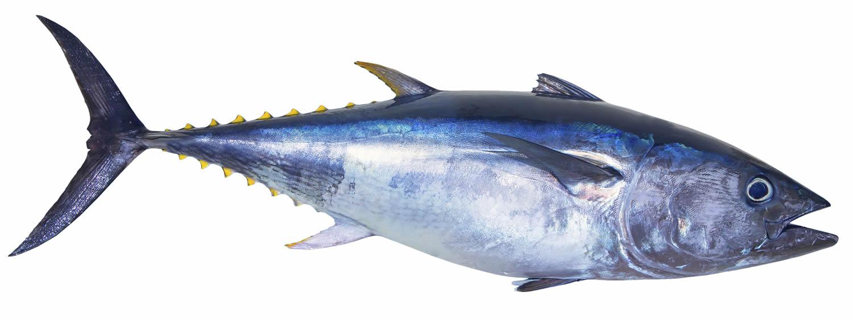 tuna bluefin