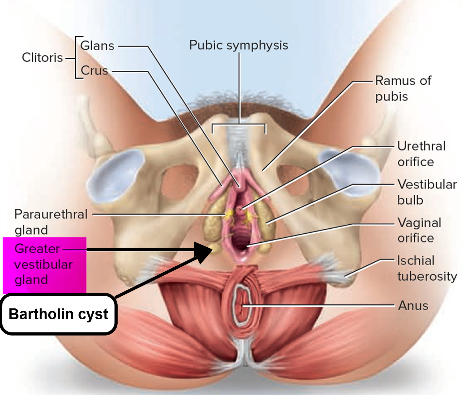 Wiki ow to control frequent urination wi how to ask your doctor about finding the clitoris