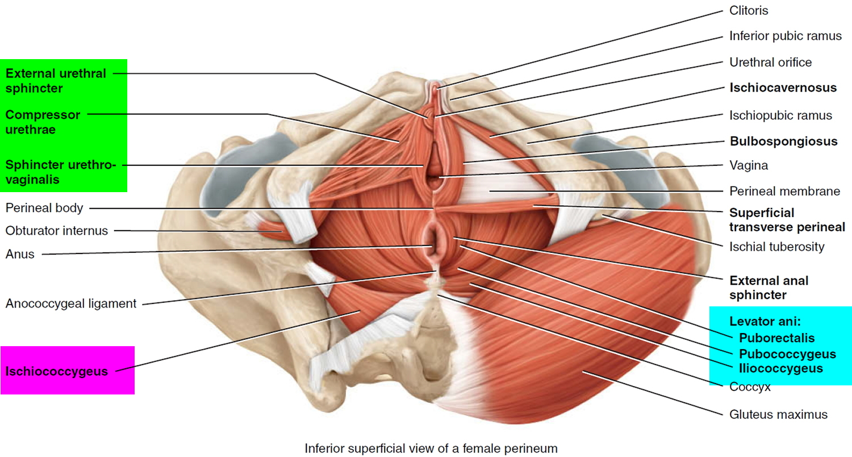 Female pelvic floor muscles