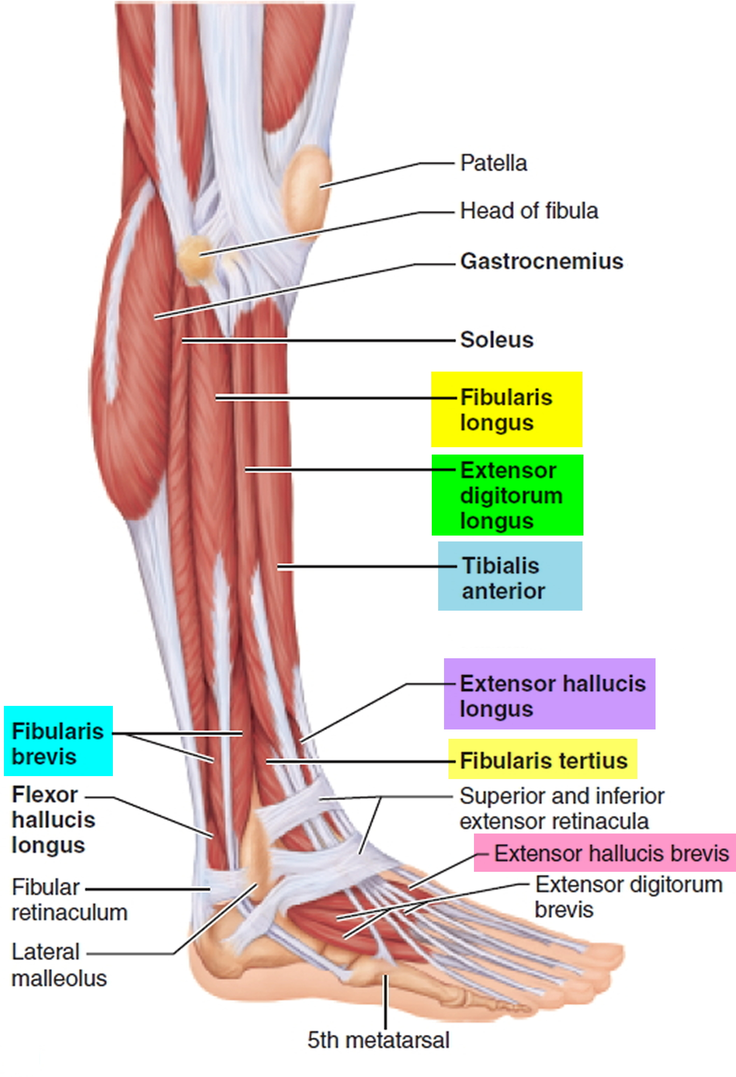 fibularis longus pain - HD 948×1386