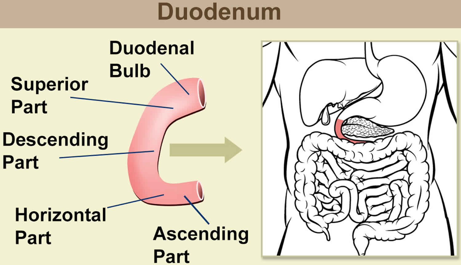 where is the human duodenum - HD1500×863