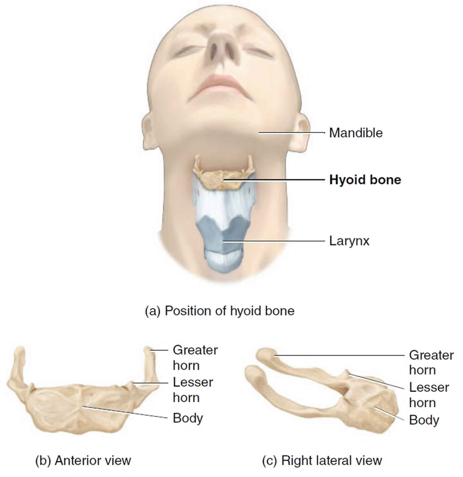 Hyoid Bone Anatomy Location Dislocation Fracture Hyoid Bone