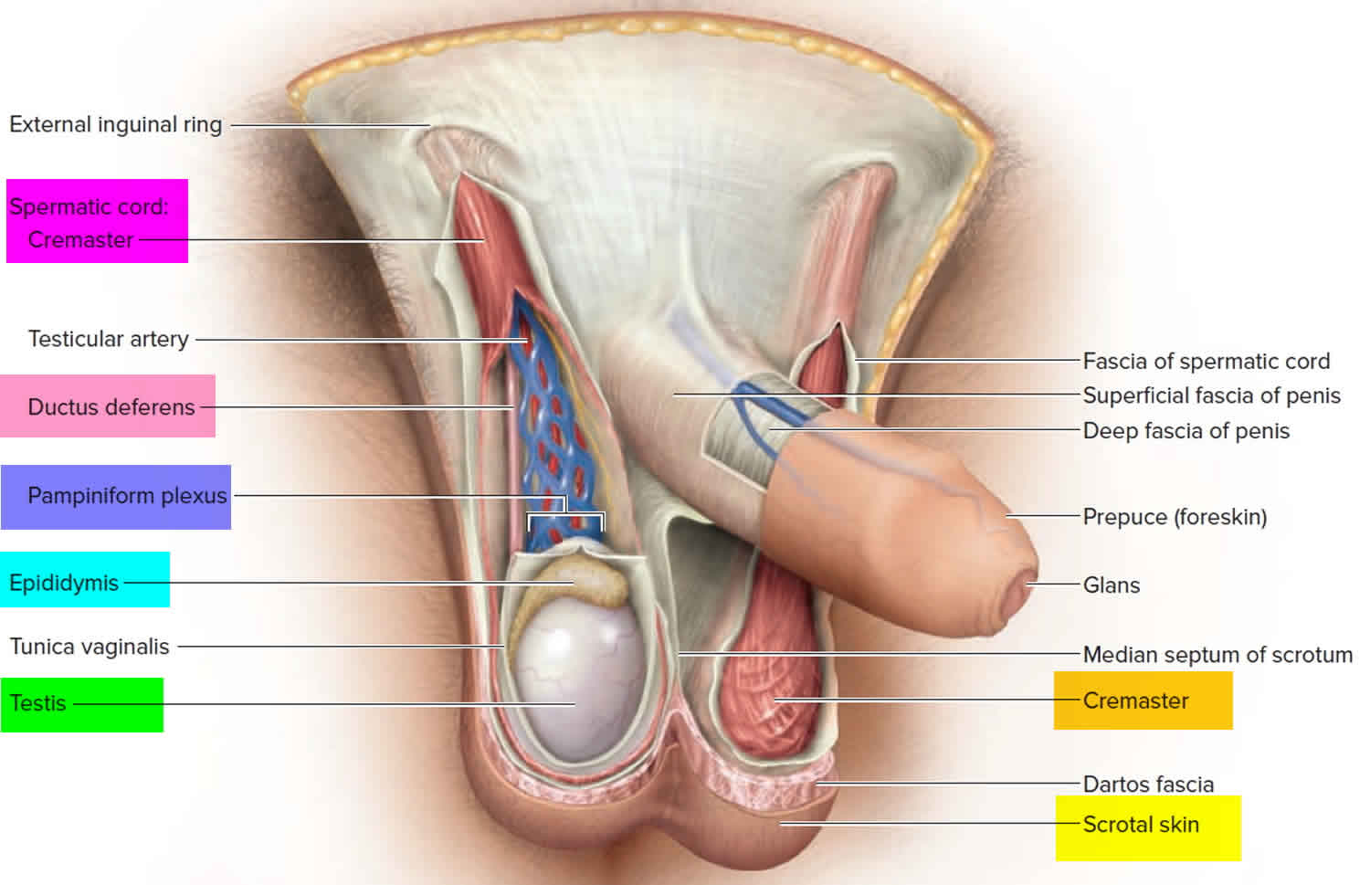 Testicles and scrotum anatomy