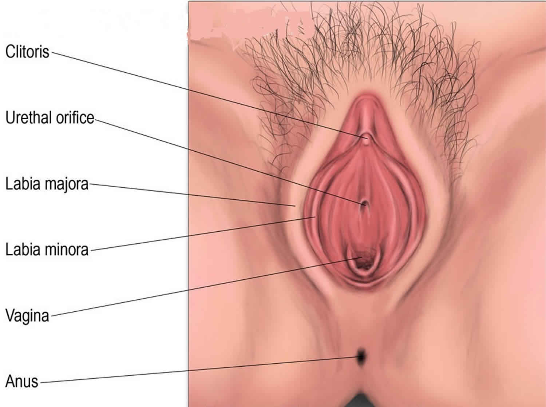 labia majora anatomy