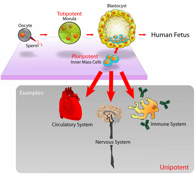 totipotent stem cells