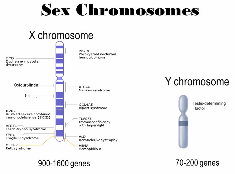X Chromosomen