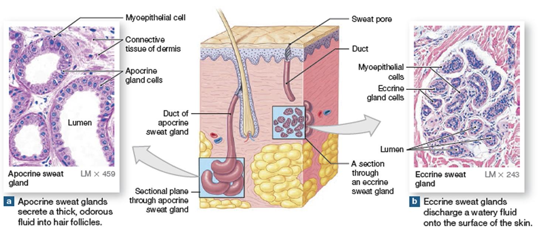 Sweat glands anatomy