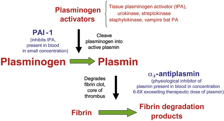 Plasmin function
