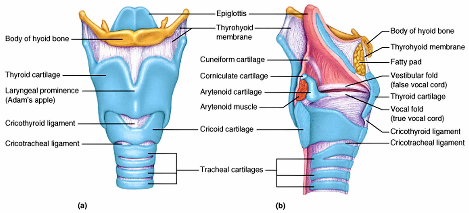 Thyroid Cartilage Anatomy Function Thyroid Cartilage Fracture