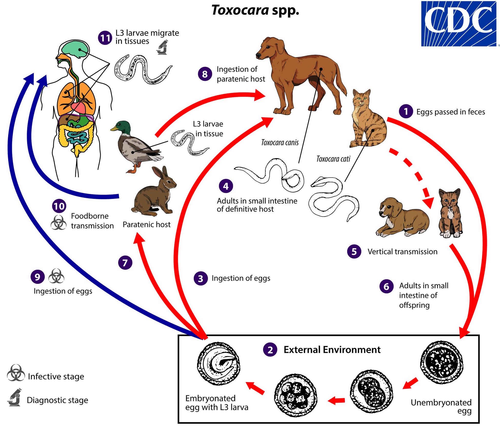 Toxocara life cycle