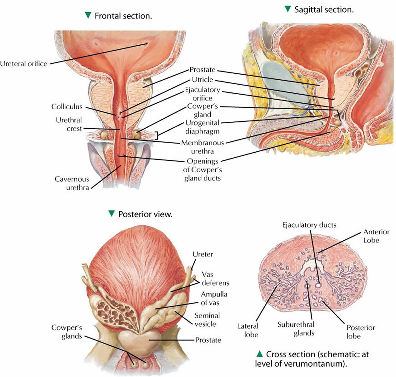 Prostate gland anatomy