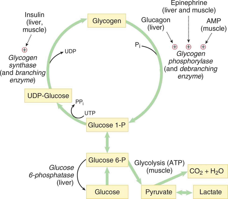 buring de grăsime vs glicogen