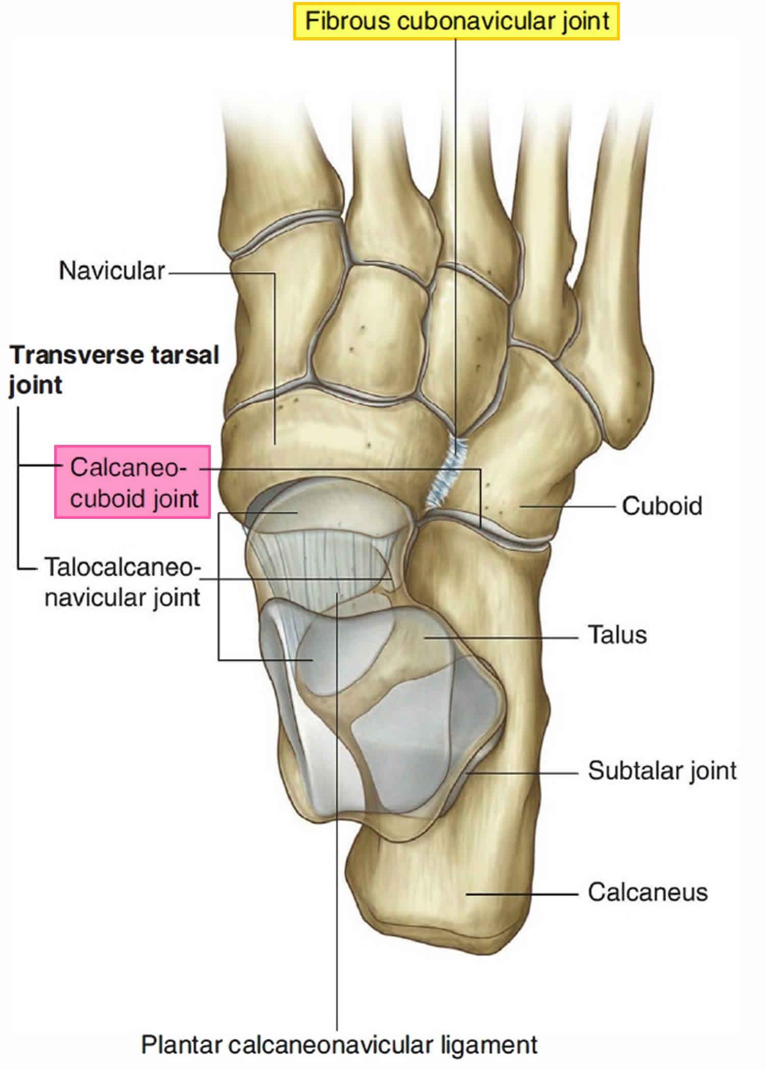 calcaneocuboid joint