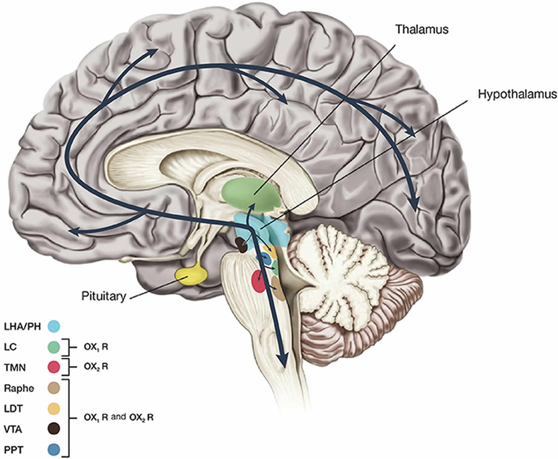 orexin neurons