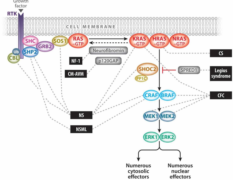 Ras -mitogen-activated protein kinase (MAPK) pathway