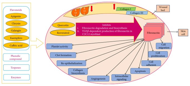 Molecular mechanism targeting wound-healing activity of propolis