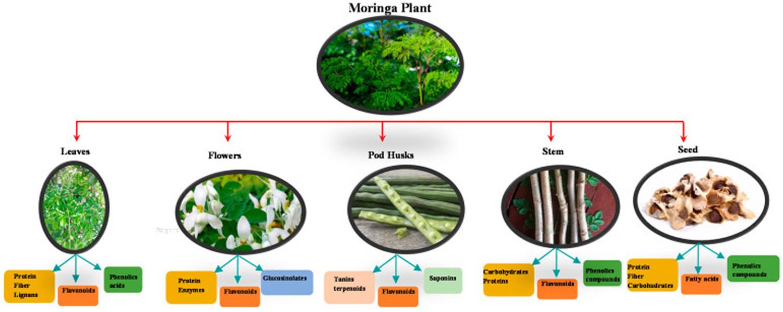 Moringa oleifera bioactive compounds