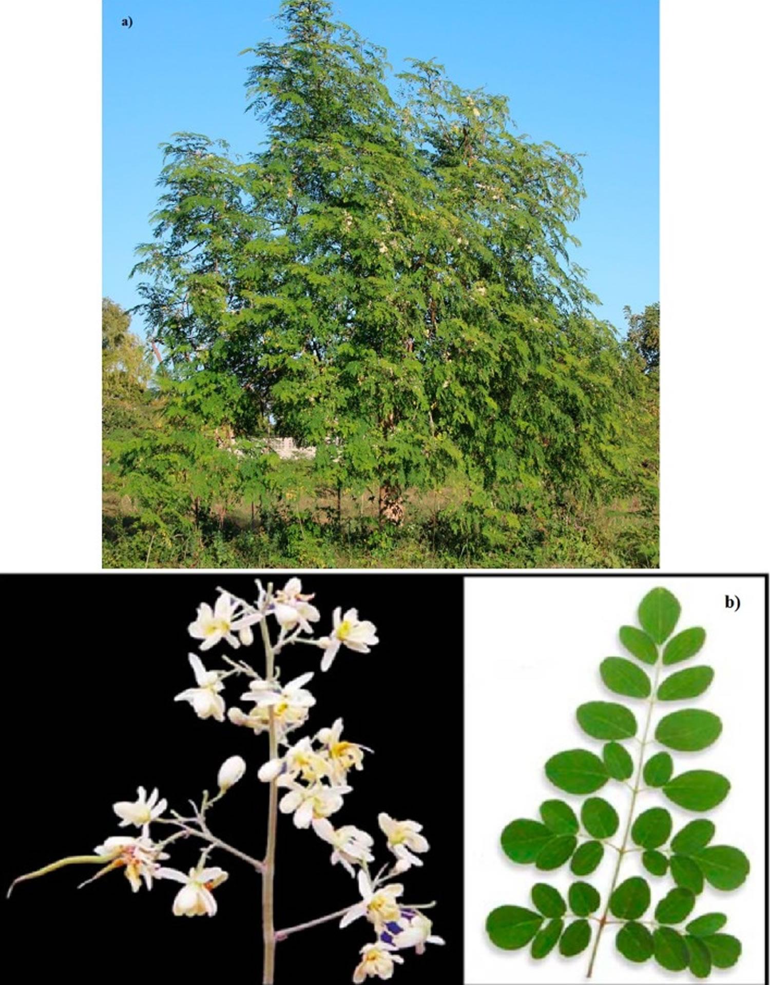 Moringa oleifera tree, flowers and leaves